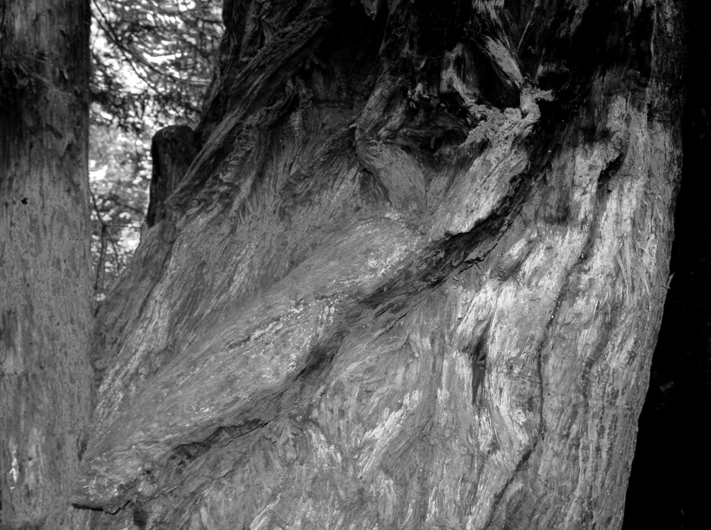 Gnarls in Redwood,  b&w, July 2013