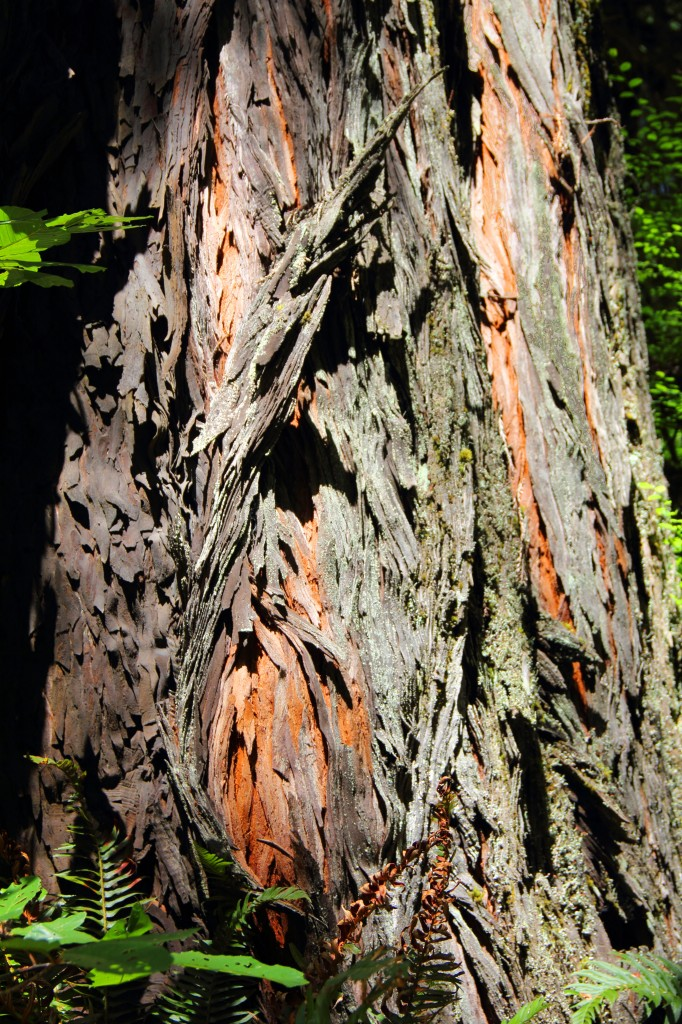 Redwood Bark Detail, July 2013