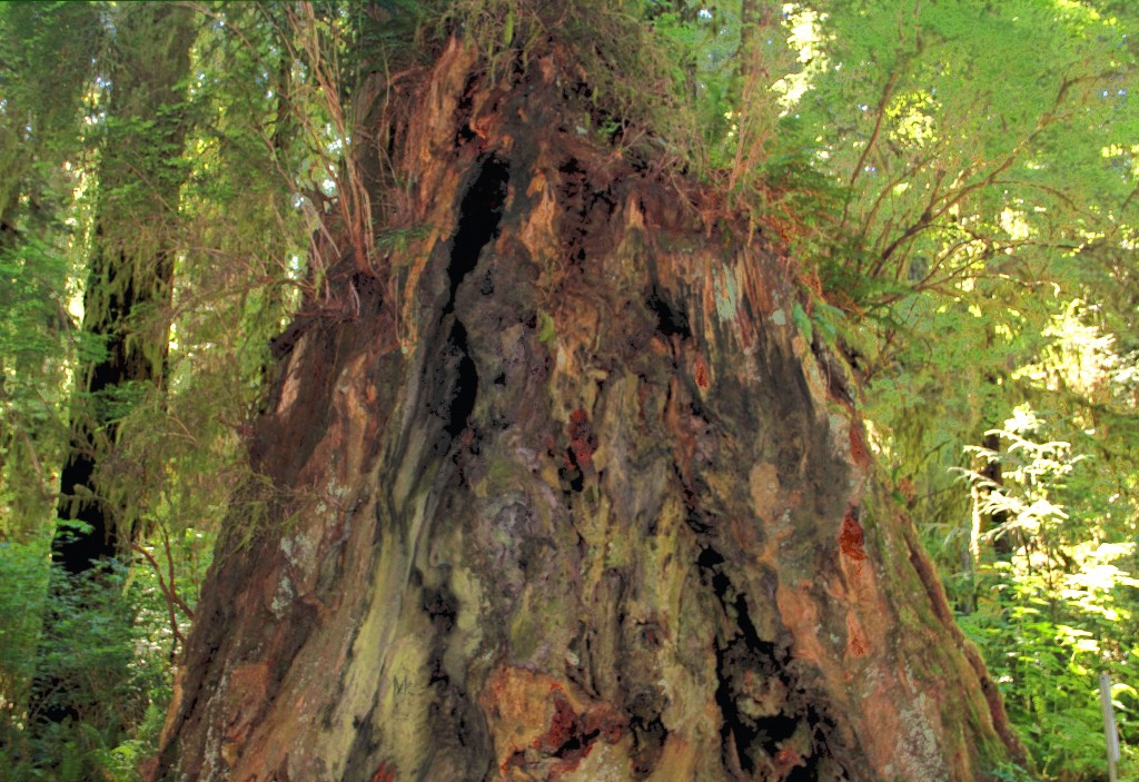 Redwood Trunk, July 2013