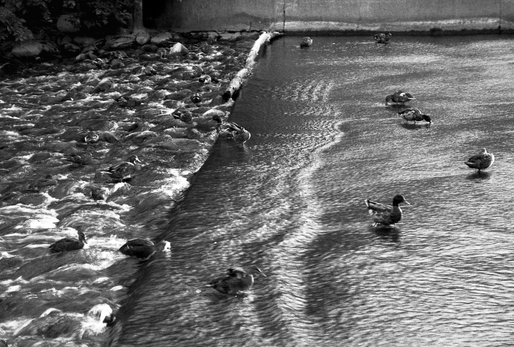 Ducks Against the Fall, b&w, July 1988