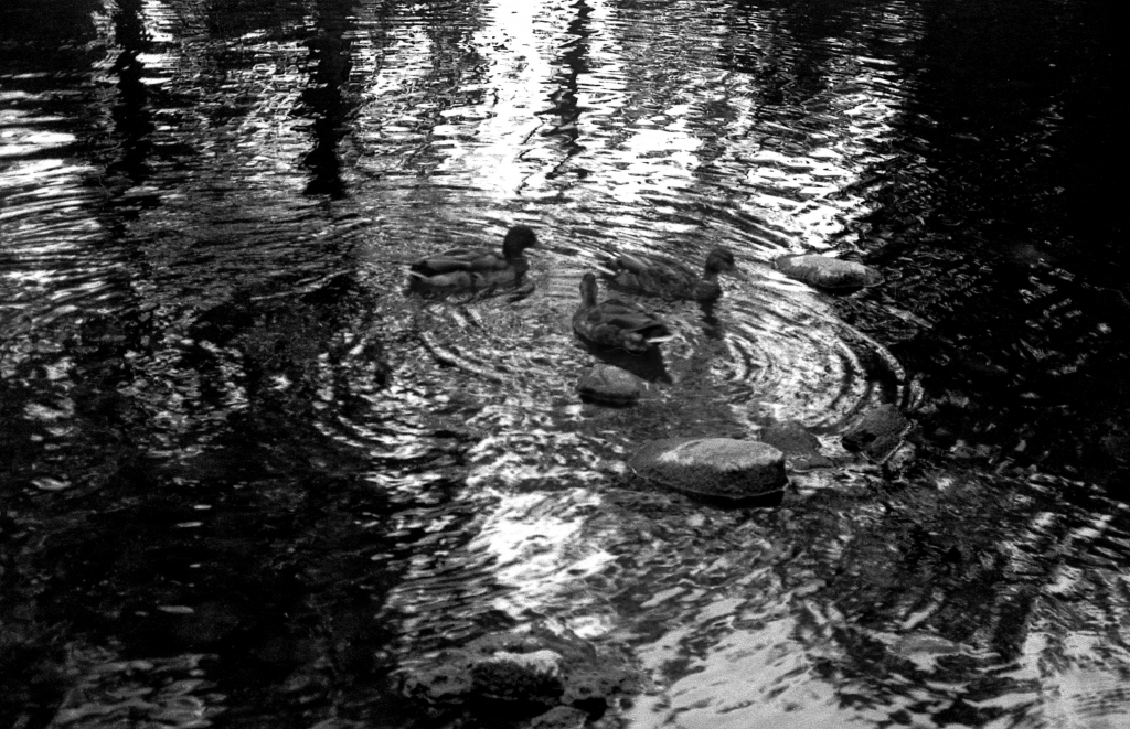 Ducks-Go-Round, b&w, July 1988