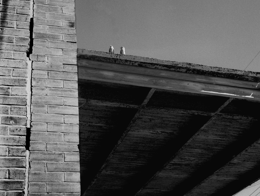 Finches on Roof, b&w, 1974