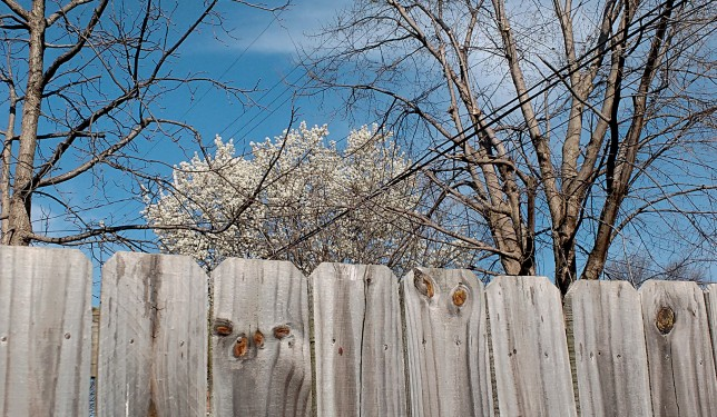Fence and Tree, March, 2016